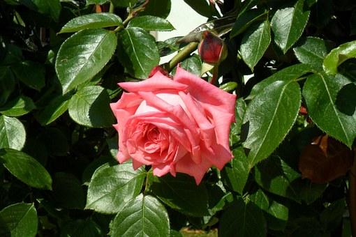 rose-170797__340